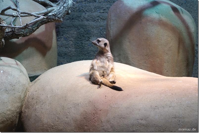 Erdmaennchen Zoo