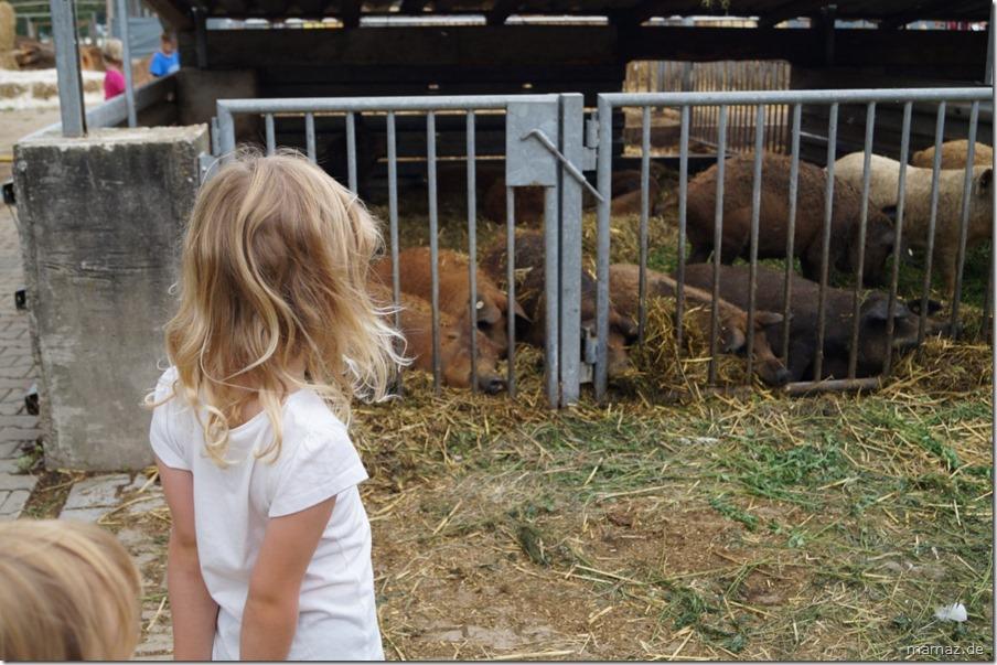 Wollschweine bei Bauer Mann