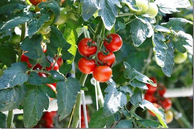 Hagdorn Tomaten