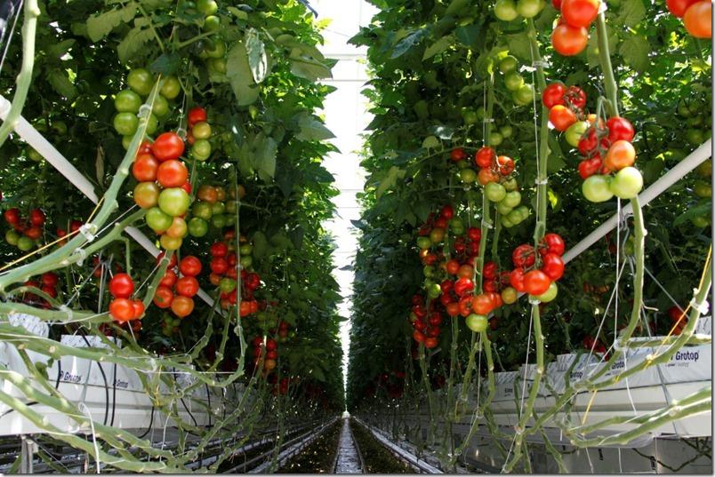 Tomaten natürlicher Anbau